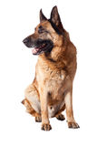 German shepherd on white Royalty Free Stock Image