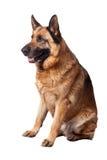 German shepherd on white Stock Photos