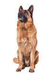 German shepherd on white Royalty Free Stock Photos