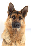 Portrait of a German shepherd. In the winter royalty free stock photography