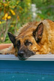 Portrait of a German shepherd Stock Photography