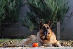 Portrait of a german shepherd Royalty Free Stock Image