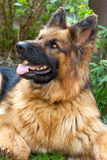 Portrait of german shepherd Stock Photo