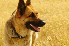 Portrait of german shepherd Royalty Free Stock Photos