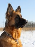 Portrait of a German Shepherd Stock Image