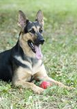Portrait of german shepherd. Young german shepherd laying in a grass field with a red ball Stock Photos