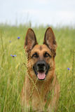 Portrait of a German shepherd. German Shepherd in the middle of a field of flowers royalty free stock photo