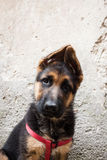 Portrait of a German Shepherd baby dog Royalty Free Stock Images