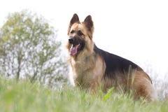 Portrait of a German shepherd. Portrait of a beautiful German shepherd on a hill Stock Photos