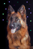 Portrait of a German Shepherd on black background with bikes Stock Photography