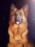 Portrait of a German Shepherd on black background with bikes Stock Image