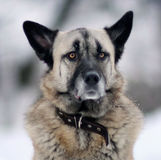 Portrait of a German Shepherd with black ears Royalty Free Stock Photos