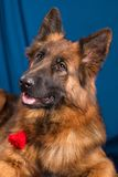 Portrait of a German Shepherd. Blue background. Royalty Free Stock Images
