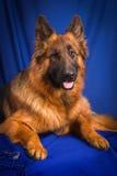 Portrait of a German Shepherd. Blue background. Royalty Free Stock Photos