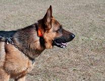 Portrait of German Shepherd Royalty Free Stock Photography