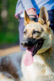 Portrait of a German shepherd closeup Stock Image