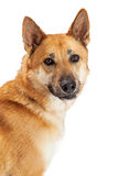 Portrait German Shepherd Dog Over White Stock Photography