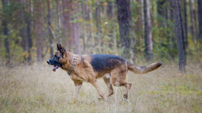 Portrait of german shepherd dog running in autumn park Royalty Free Stock Image