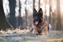 Portrait of german shepherd dog in spring morning sun royalty free stock images