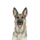 Portrait of a German Shepherd from the front. On a white background Royalty Free Stock Images