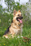 Portrait of a German shepherd in the green. Portrait of a beautiful German shepherd in the green Stock Image