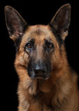 Portrait of German Shepherd Stock Image