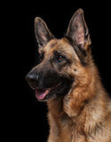 Portrait of German Shepherd Royalty Free Stock Image
