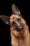 Portrait of German Shepherd Stock Image