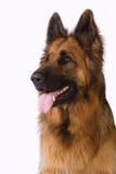 Portrait of a German shepherd with long hair. Portrait of a German Shepherd Royalty Free Stock Photography