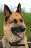 Portrait of german shepherd Stock Photography