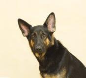 Portrait of a german shepherd puppy. German shepherd dog in beige background Stock Images