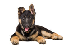 Portrait of a German shepherd puppy Royalty Free Stock Images