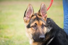 Portrait of a German shepherd puppy with a mischievous and attentive look listening to his master. A portrait of a German shepherd puppy with a mischievous and stock photography