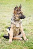 Portrait of a German shepherd puppy with a mischievous and attentive look listening to his master. A portrait of a German shepherd puppy with a mischievous and royalty free stock images
