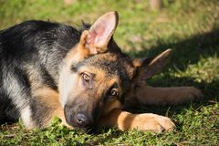 Portrait of a German shepherd puppy with a mischievous and attentive look listening to his master. A portrait of a German shepherd puppy with a mischievous and stock image