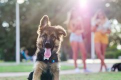 Portrait of German shepherd puppy with young girls in the background blurry abroad. German shepherd looking to you stock photography