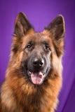 Portrait of a German Shepherd. Purple background. Royalty Free Stock Photos