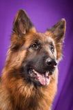 Portrait of a German Shepherd. Purple background. Stock Photos
