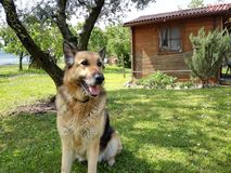 A german shepherd in its garden stock photography