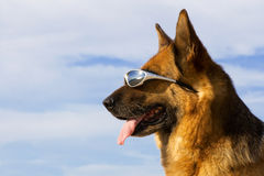 Portrait of the German shepherd with solar glasses Royalty Free Stock Photo
