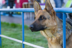 Portrait of German Shepherd Royalty Free Stock Photos