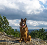 Portrait of a German shepherd. On walk Royalty Free Stock Photos