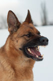 Portrait of a German Shepherd Royalty Free Stock Images