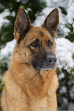 Portrait of a German shepherd in winter Royalty Free Stock Photo