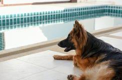 Portrait of german shepperd dog lie down on background swimiming. Portrait of german shepperd dog lie down on background swimming pool , thailand Royalty Free Stock Photos
