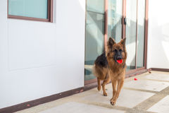 Portrait of german shepperd dog lie down and bite red toy. Thailand Stock Photos