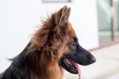 Portrait of german shepperd dog. Portrait of german shepherd dog , thailand Stock Photos