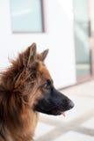 Portrait of german shepperd dog. Portrait of german shepherd dog , thailand Royalty Free Stock Images