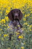 Portrait of German Short Hair Pointer Stock Photos