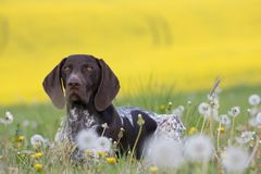 Portrait of German Short Hair Pointer Royalty Free Stock Images